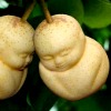 image of pears shaped like Buddha