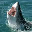 image of shark